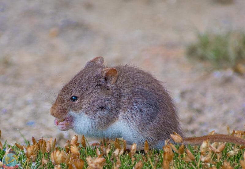raton del altiplano, salar de uyuni